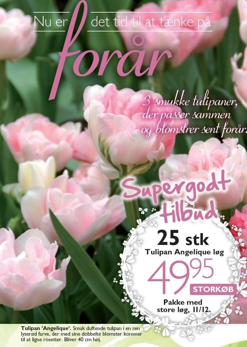 Tulipan Angelique løg 25 stk.