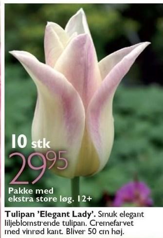 Tulipan 'Elegant Lady' 10 stk.