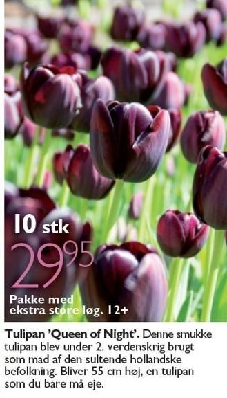 Tulipan 'Queen of Night' 10 stk.