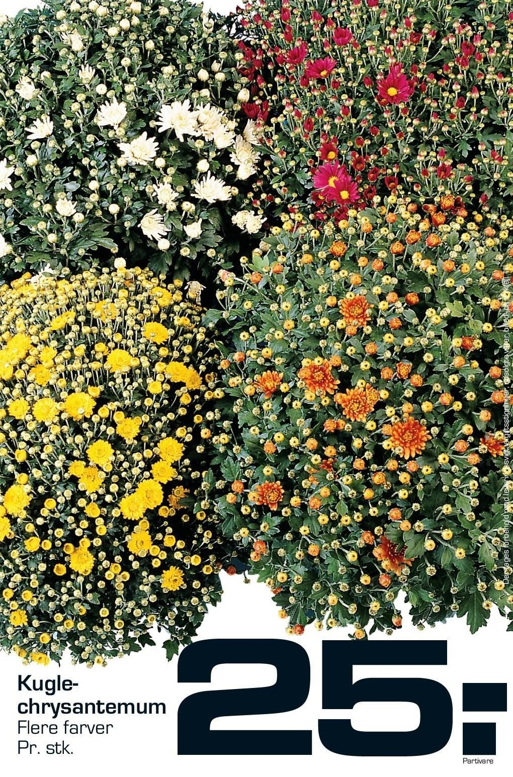 Kuglechrysanthemum